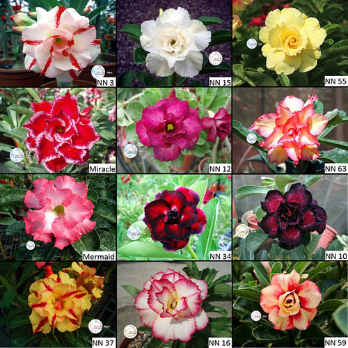 Adenium obesum Double Petal - Special colors - 5 seeds