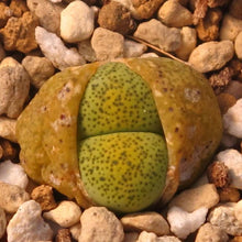 Lithops terricolor 'Speckled Gold' C345A - 10 seeds