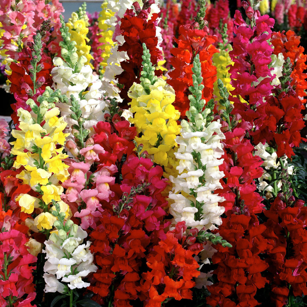 Antirrhinum majus mix - 200 seeds