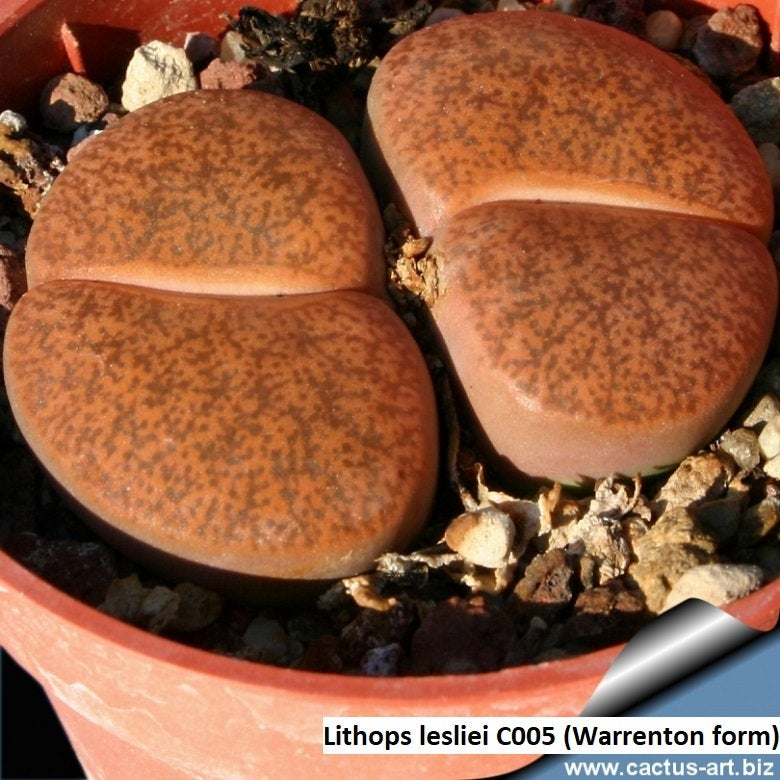 Lithops lesliei C005 (Warrenton form) - 20 seeds