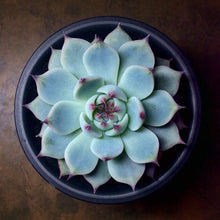 Echeveria chihuahuensis Ruby Blush - 20 seeds