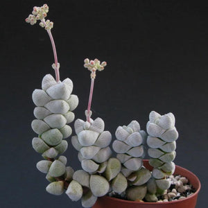 Crassula deceptor - 20 seeds