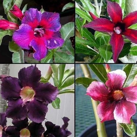 Adenium obesum Purple single-petals mix - 5 seeds