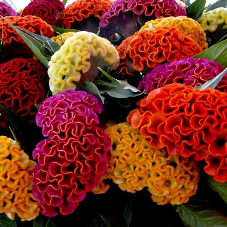 Celosia cristata mix - 100 seeds