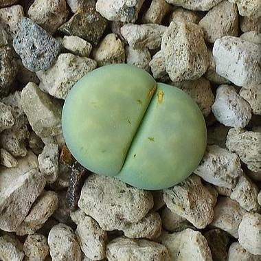 Lithops julii Peppermint Creme - 10 seeds (C297A)