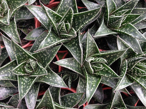 Gasteria mix - 10 seeds