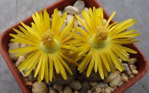 Lithops fulviceps  - 20 seeds