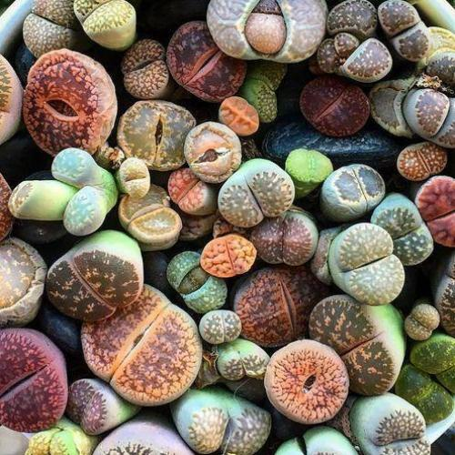 Lithops mix 100 seeds (Living stones)