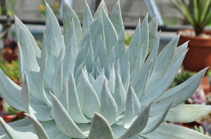 Giant Chalk Dudleya - 20 seeds