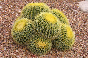 Golden Barrel cactus - 20 seeds