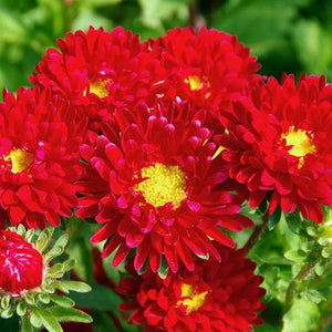 Aster Red - 50 seeds