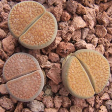 Lithops villetii kennedyi - 20 seeds