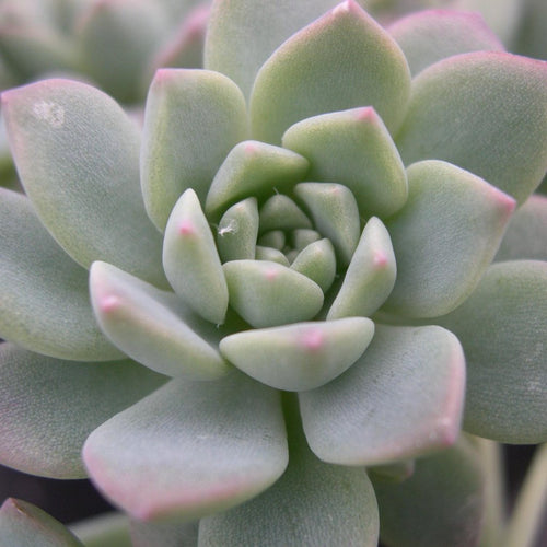 Echeveria prolifica - 20 seeds