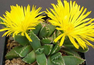 Faucaria mix - 20 seeds