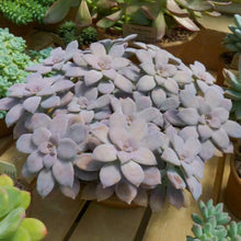Graptopetalum pentandrum - 20 seeds