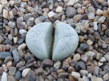 Lithops meyeri C273 - 20 seeds