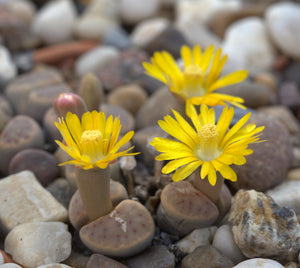 Lithops dinteri 20 seeds - Living rocks