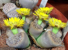 Lithops gesinae - 20 seeds