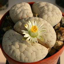 Lithops gracilidelineata - 20 seeds