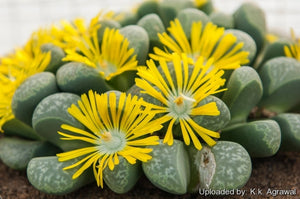 Lithops helmutii - 20 seeds
