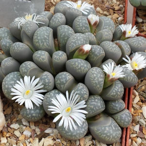Lithops marmorata 20 seeds - Living stones
