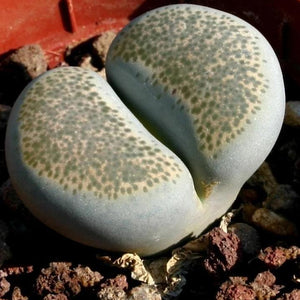 Lithops terricolor - 20 seeds