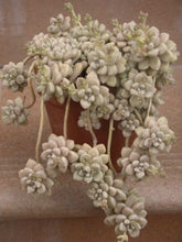 Graptopetalum mendozae - 20 seeds