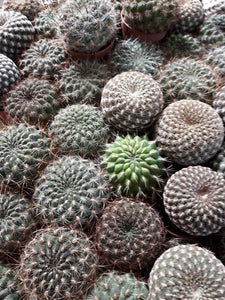 Sulcorebutia mix - 10 seeds
