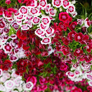 Dianthus Barbatus mix - 100 seeds