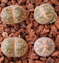 Lithops coleorum C396 - 20 seeds