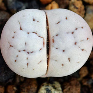 Lithops ruschiorum - 10 seeds (C241)