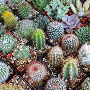 Cactus seeds mix - 20 seeds