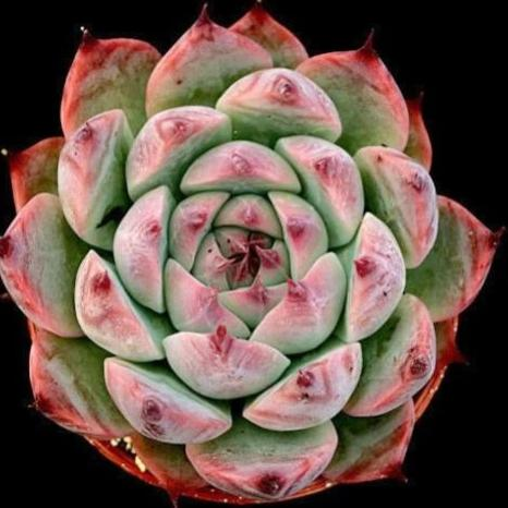Echeveria colorata Tapalpa - 20 seeds
