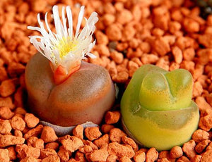Conophytum maughanii mix - 10 seeds