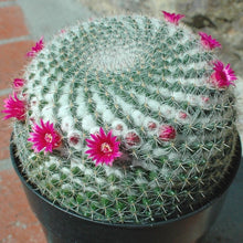 Mammillaria hahniana - 10 seeds (Old Lady Cactus)