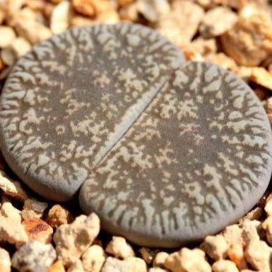 Lithops lesiei C341 Kimberley form - 20 seeds