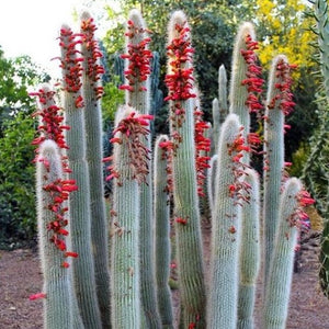 Cleistocactus strausii - 10 seeds (Silver Torch, Wooly Torch, Snow Pole)