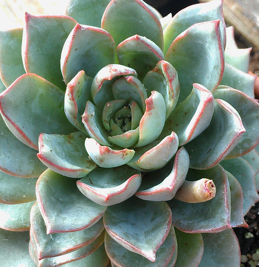 Echeveria subalpina - 20 seeds