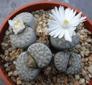 Lithops julii (fulleri) mix - 20 seeds