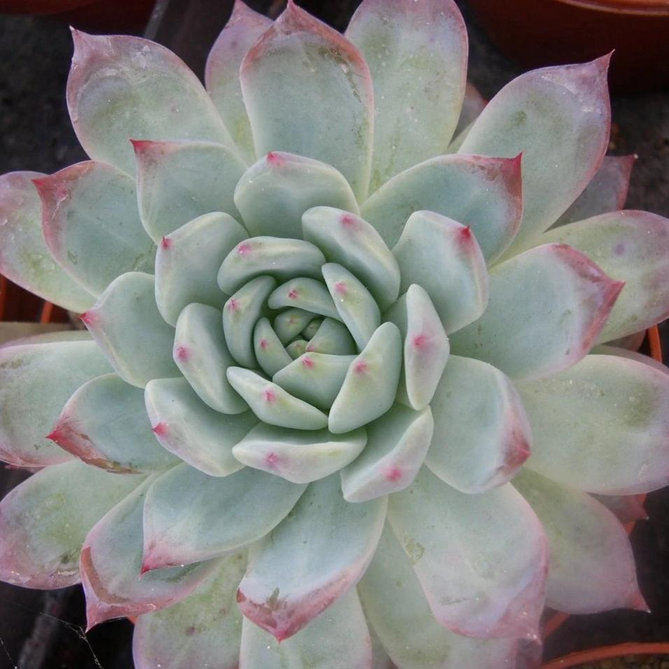 Echeveria colorata 'Mexican Giant' - 20 seeds