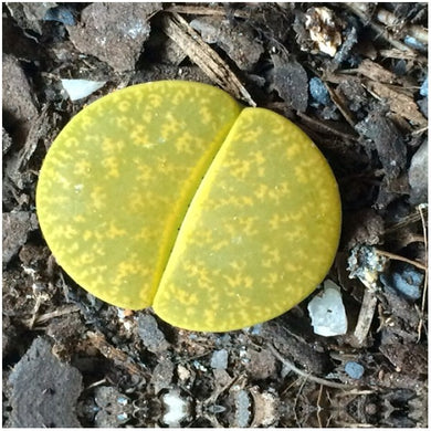 Lithops aucampiae Betty's Beryl - 10 seeds