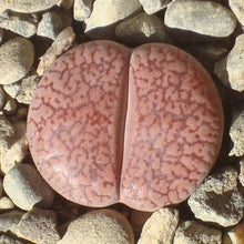 Lithops aucampiae 20 seeds - Living stones