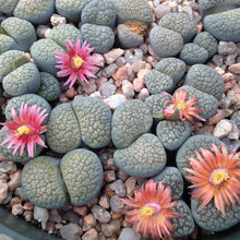 Lithops verruculosa Rose of Texas - 10 seeds