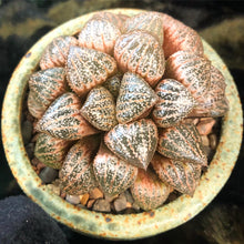 Haworthia rare hybrids mix - 10 seeds