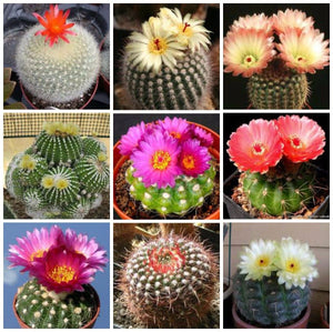 Parodia mix - 20 seeds