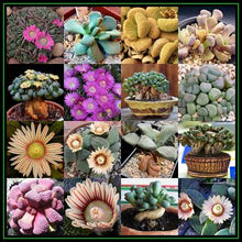 Aloinopsis mix - 20 seeds