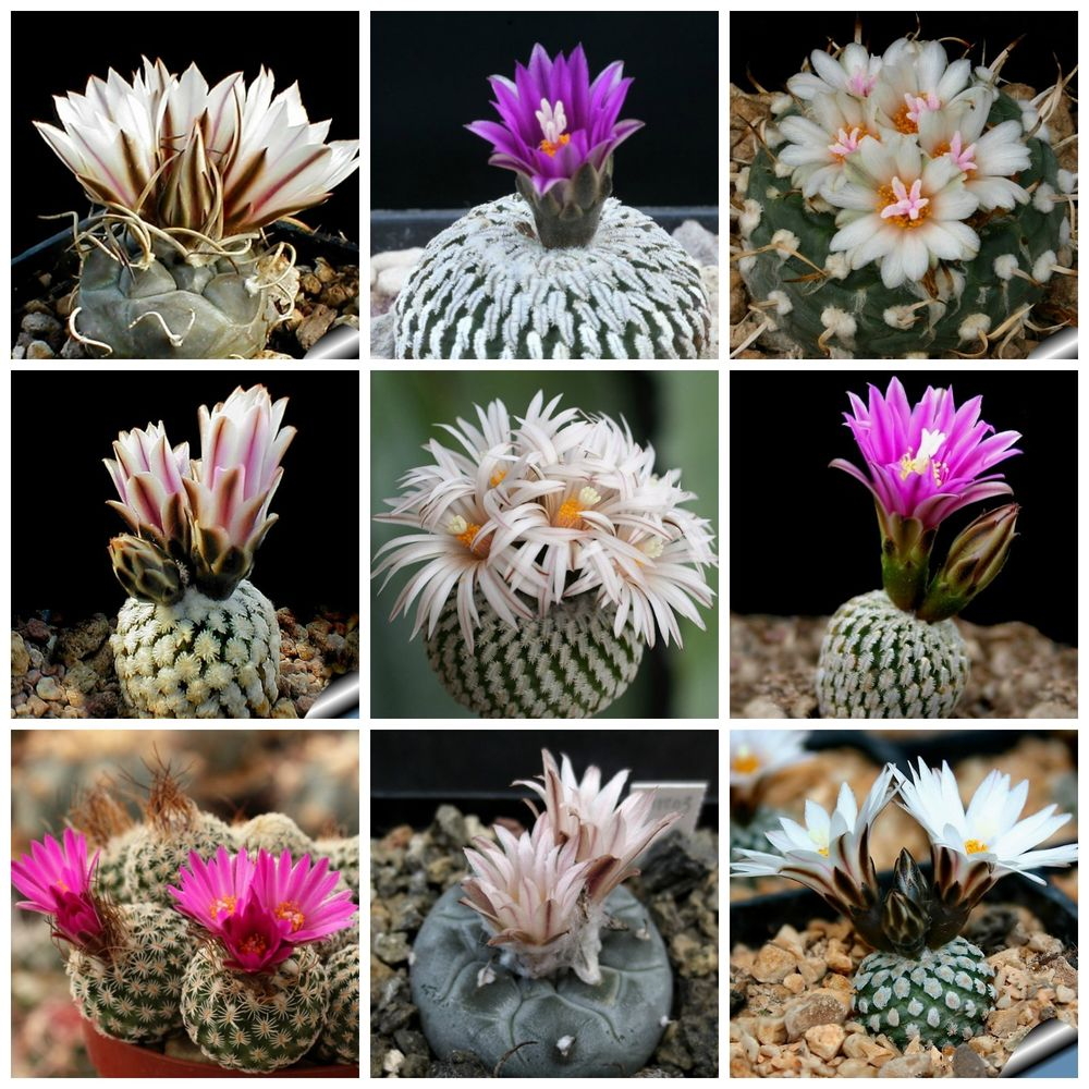 Turbinicarpus mix - 10 seeds