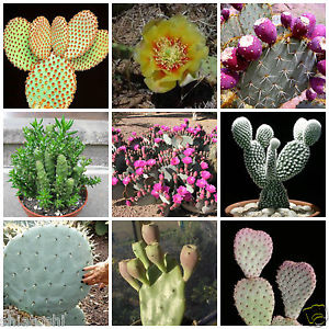 Opuntia mix - 20 seeds