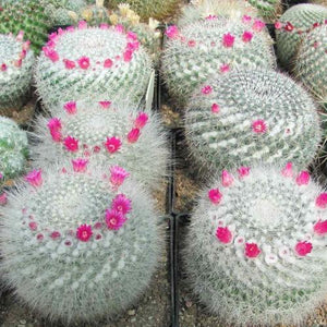 Mammillaria mix - 10 seeds