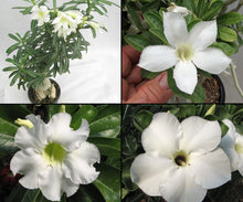 Adenium obesum White single petals mix (5 seeds) - Desert rose